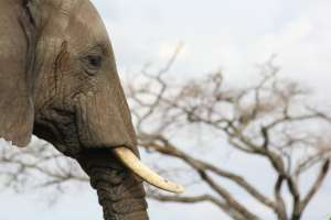 Zabijanie słoni dla kłów może niedługo przestać byc opłacalne. fot. pixabay.com/ Hugh_Grant