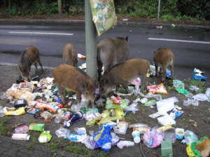 Dziki są zmorą mieszakańców Gdańska, mieszkańcy domagają się od magistratu stanowczych kroków, fot. wikimedia commons