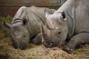 Ambasady Korei Płn. w Mozambiku i RPA zaangażowane są w handel rogiem nosorożca/pixabay.com