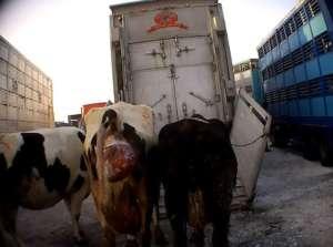 Raport Fundacji VIVA pokazuje, że zwierząt na targowiskach przed cierpieniem nie chroni praktycznie nikt / http://viva.org.pl/