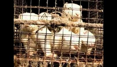 Kadr z materiału umieszczonego na portalu YouTube przedstawiający norki w klatce.