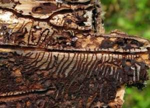 Opinie naukowców wskazują jednoznacznie, że wzrost populacji kornika jest tymczasowy i nie zagraża Puszczy Białowieskiej/wikimedia commons