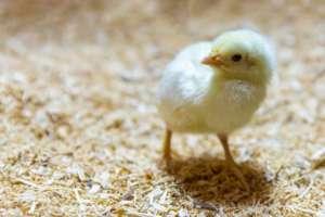 """Mielenie żywych kurcząt """"skutkiem ubocznym"""" pozyskiwania jajek? fot. publicdomainpictures.net"""