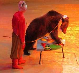 Niedźwiedzie są nadal jednym z najczęściej wykykorzystywanych gatunków zwierząt w przemyśle rozrywki, fot. torange.biz