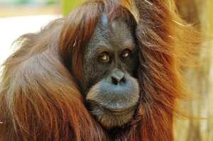 Orangutany uznane zostały za gatunek krytycznie zagrożony wyginięciem/pixabay.com