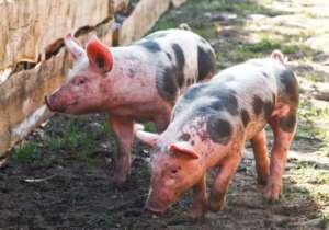Polskie świnie znów umierają na ASF, tym razem przez spekulanta / zw.lt