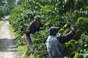Plantacja kawy w Kolumbii/flickr.com/McKay Savage