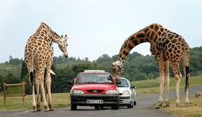 Przez Trip Advisor nie kupimy już biletu na safari, fot. wikipedia.org